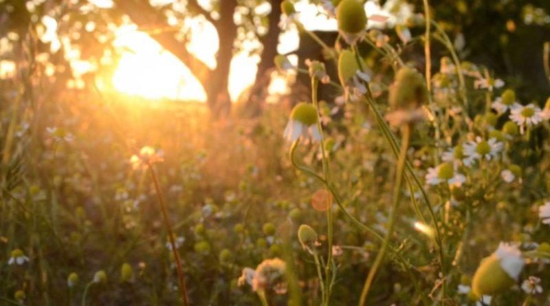 Ceaiurile de plante ambalate sunt o minciună?